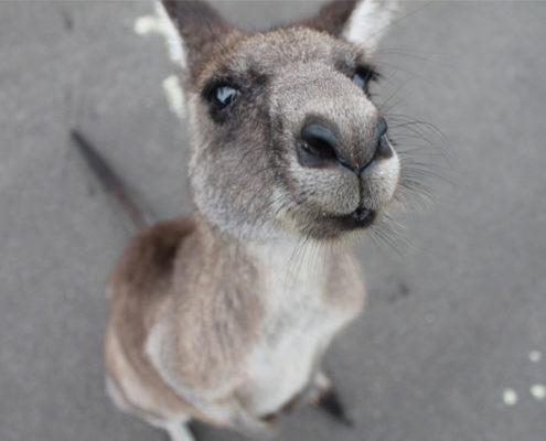 selfie de uma canguru amigável